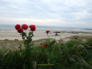 Pavot sur la plage de Jonville